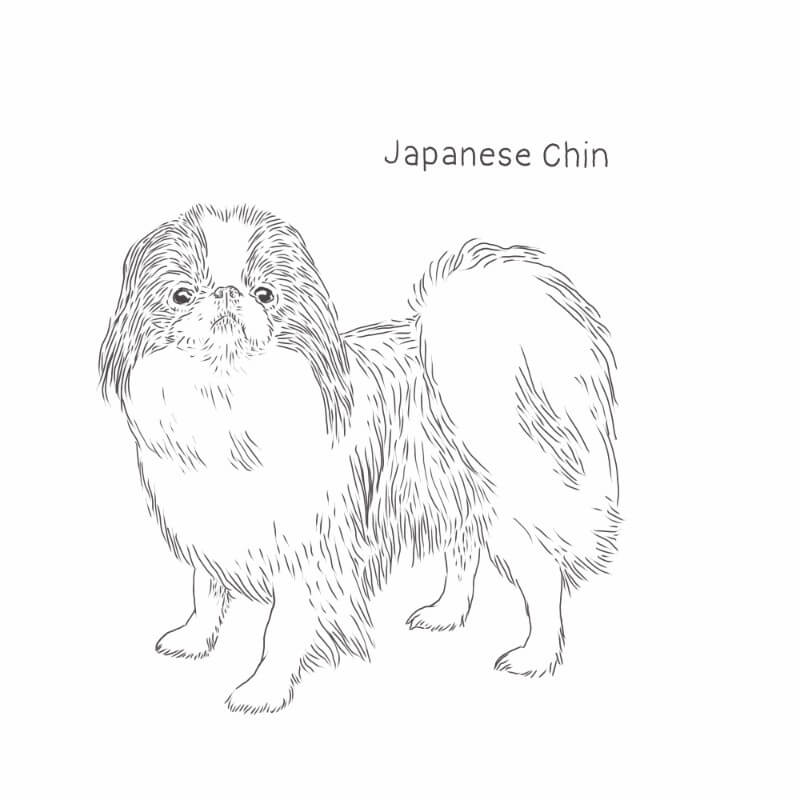 Japanese Chin dog drawing by Dog Breeds List