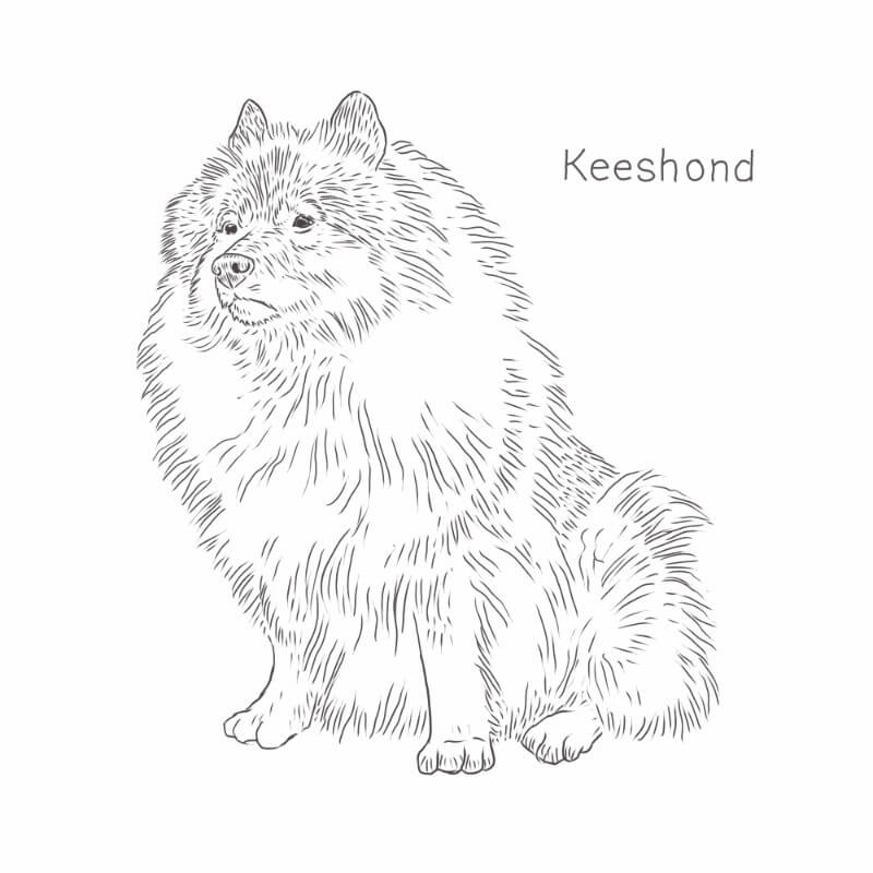 Keeshond drawing by Dog Breeds List
