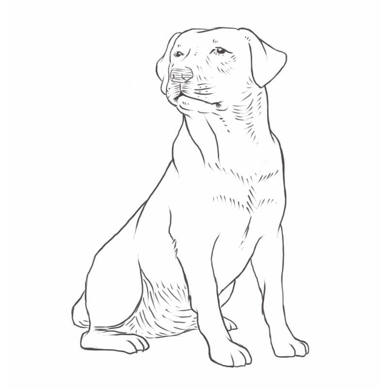 Labrador Retriever drawing by Dog Breeds List