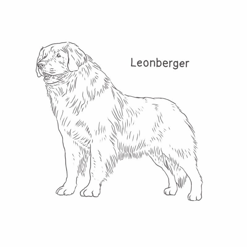 Leonberger drawing by Dog Breeds List