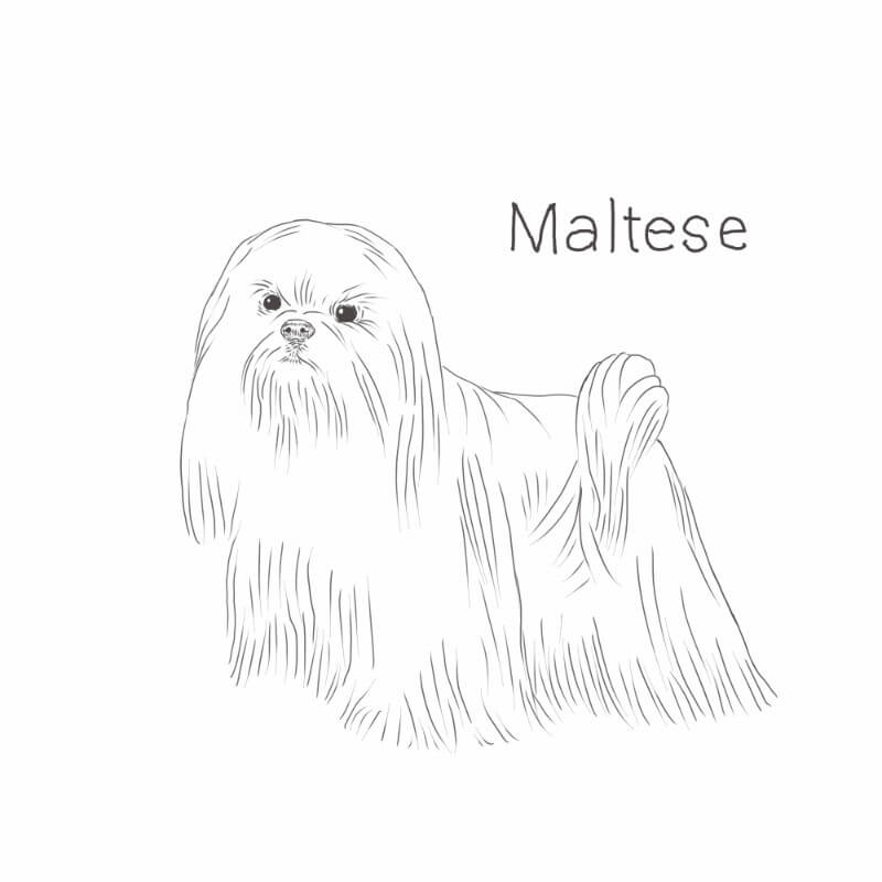 Maltese dog drawing by Dog Breeds List