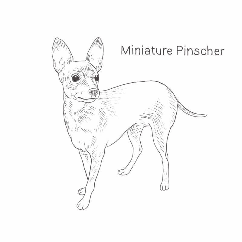 Miniature Pinscher drawing by Dog Breeds List
