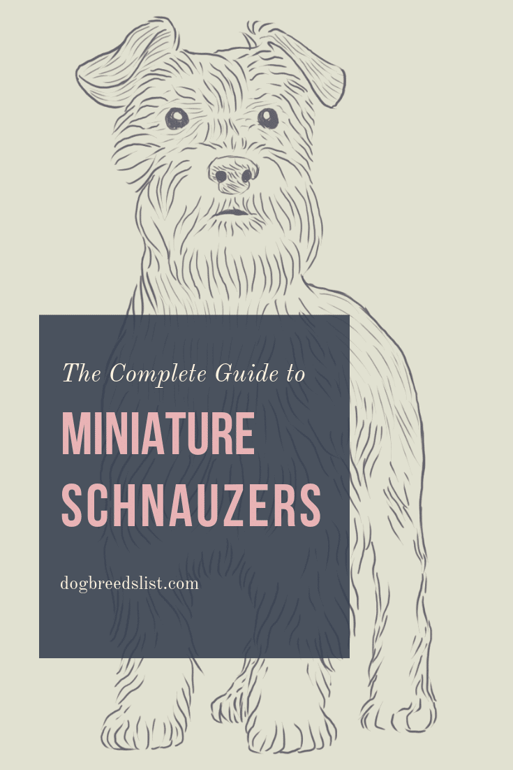 Miniature Schnauzer - The Complete Guide