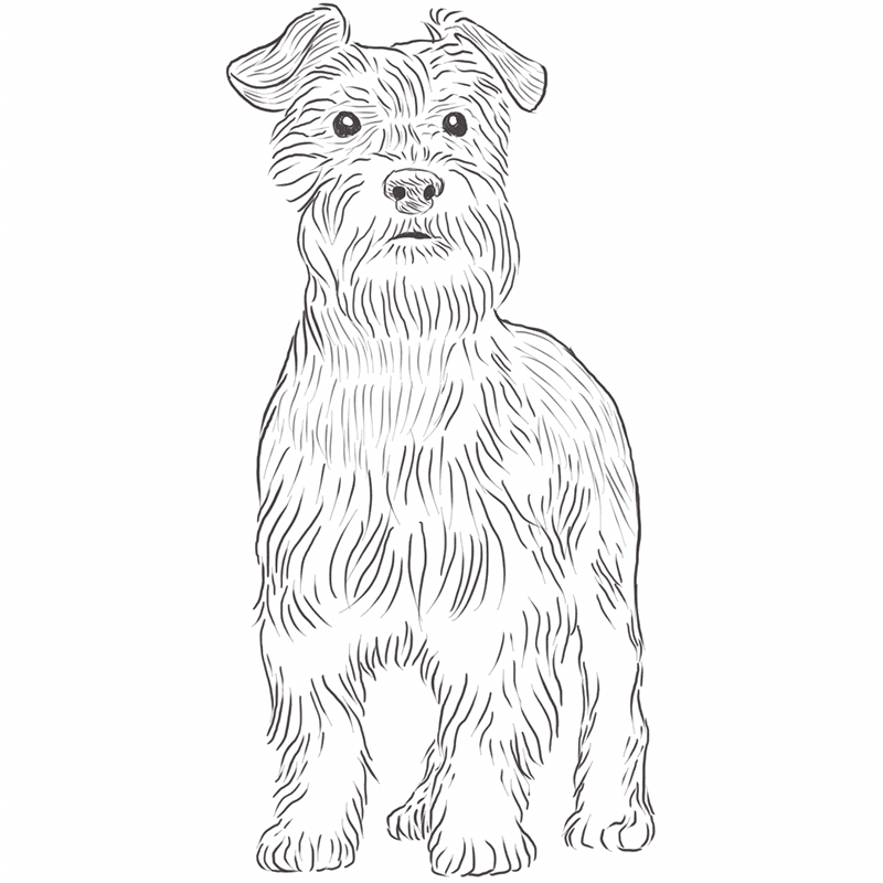 Miniature Schnauzer drawing by Dog Breeds List