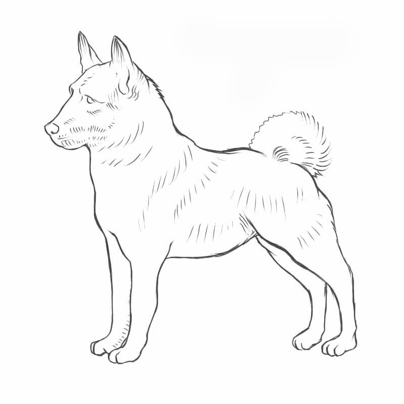 Norwegian Elkhound drawing by Dog Breeds List