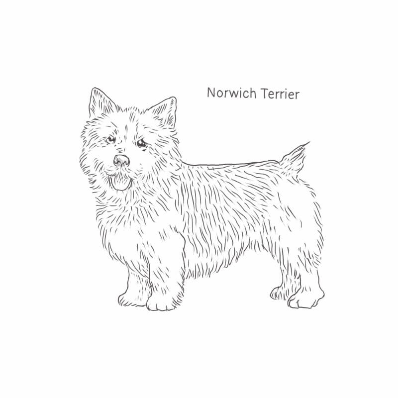 Norwich Terrier drawing by Dog Breeds List