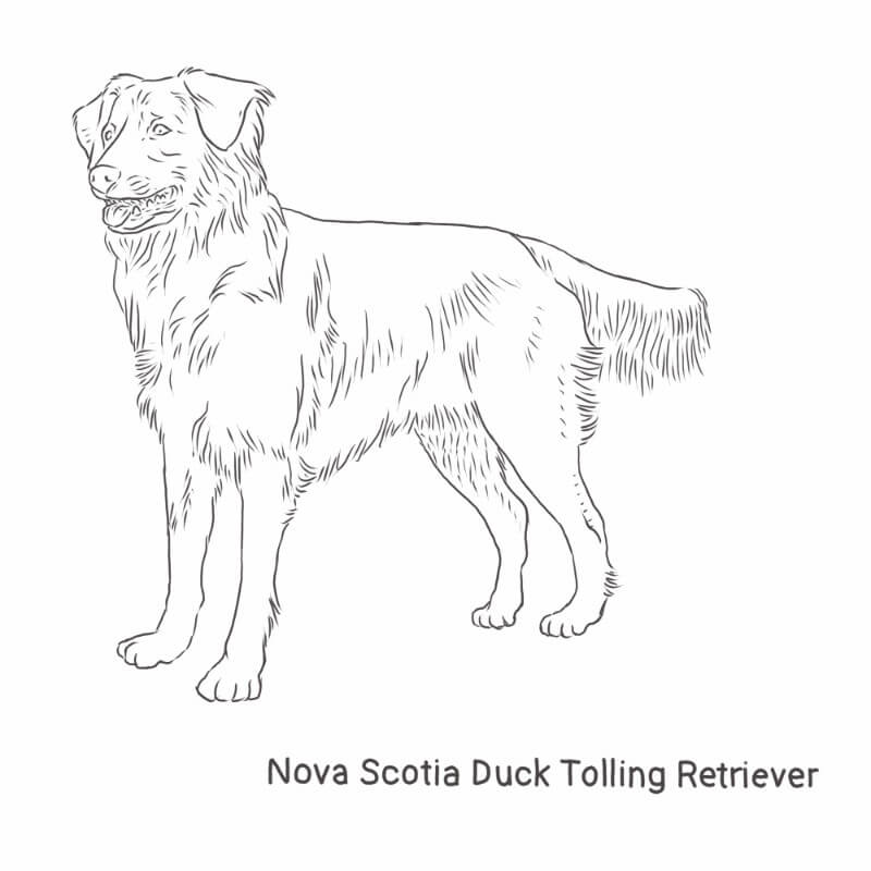 Nova Scotia Duck Tolling Retriever drawing by Dog Breeds List