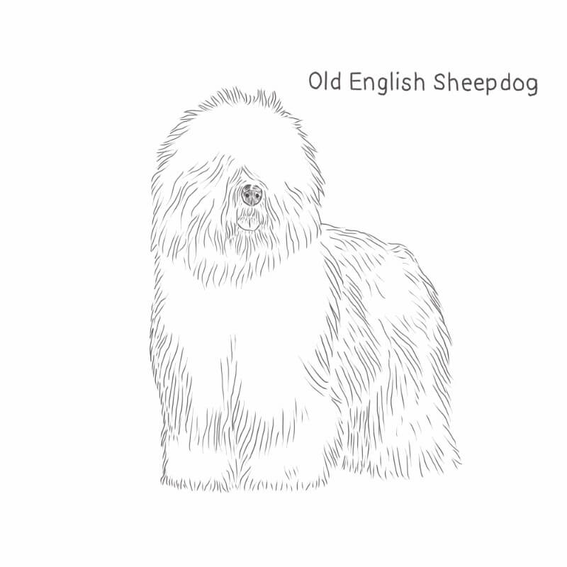 Old English Sheepdog drawing by Dog Breeds List