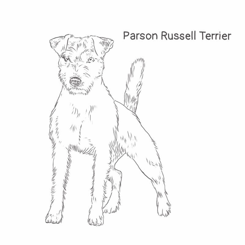 Parson Russell Terrier drawing by Dog Breeds List