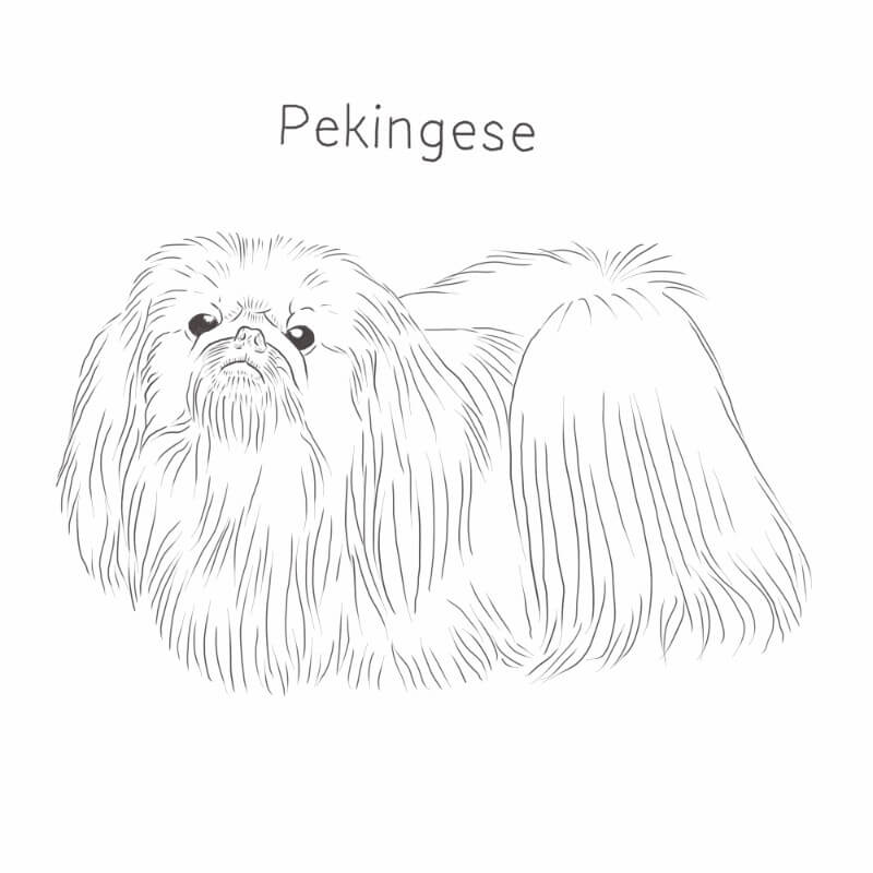 Pekingese drawing by Dog Breeds List