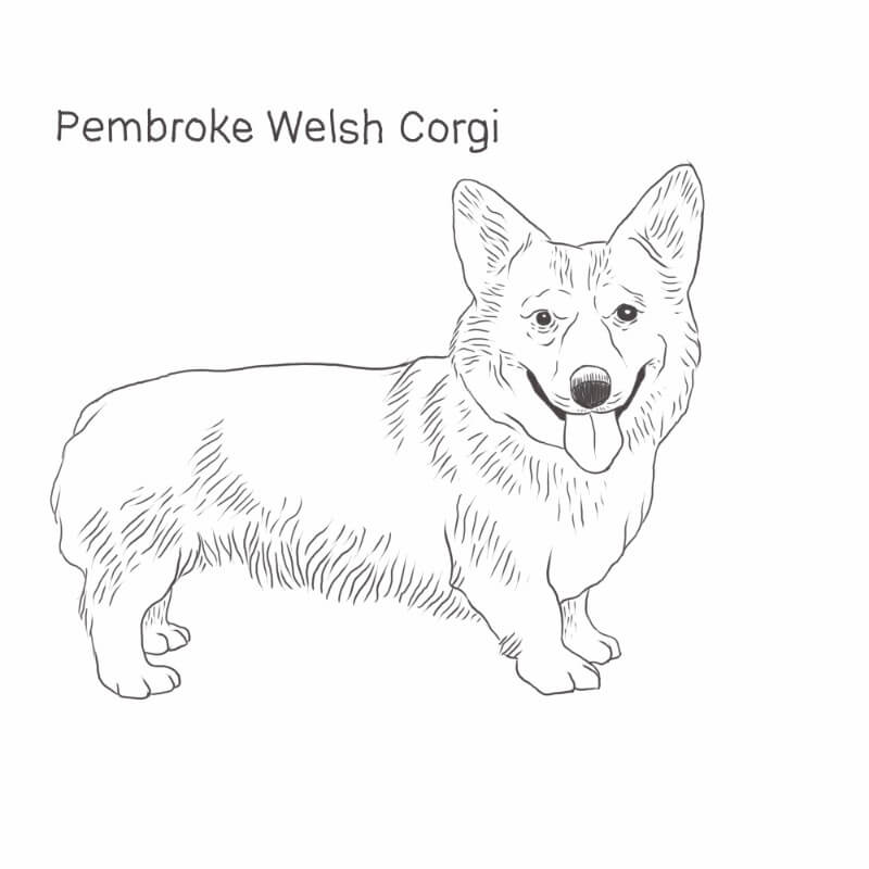 Pembroke Welsh Corgi drawing by Dog Breeds List