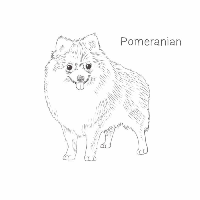 Pomeranian drawing by Dog Breeds List