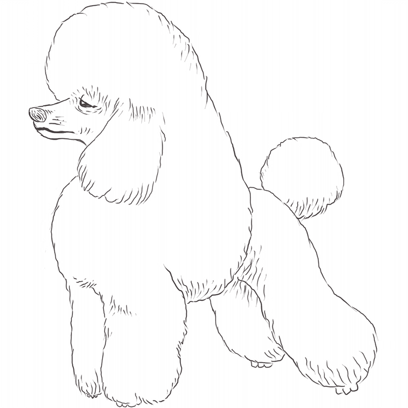 Poodle drawing by Dog Breeds List