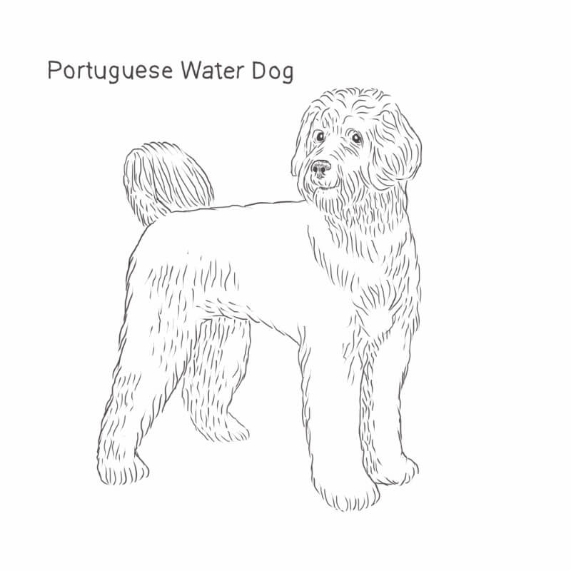 Portugese Water Dog drawing by Dog Breeds List