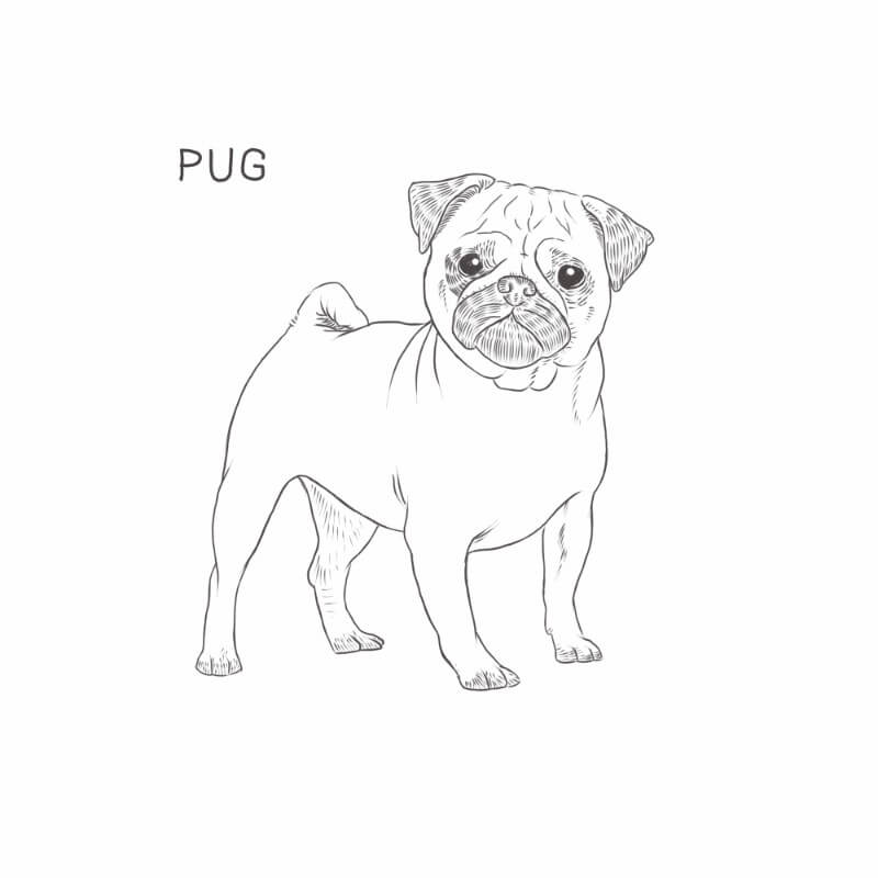 Pug dog drawing by Dog Breeds List