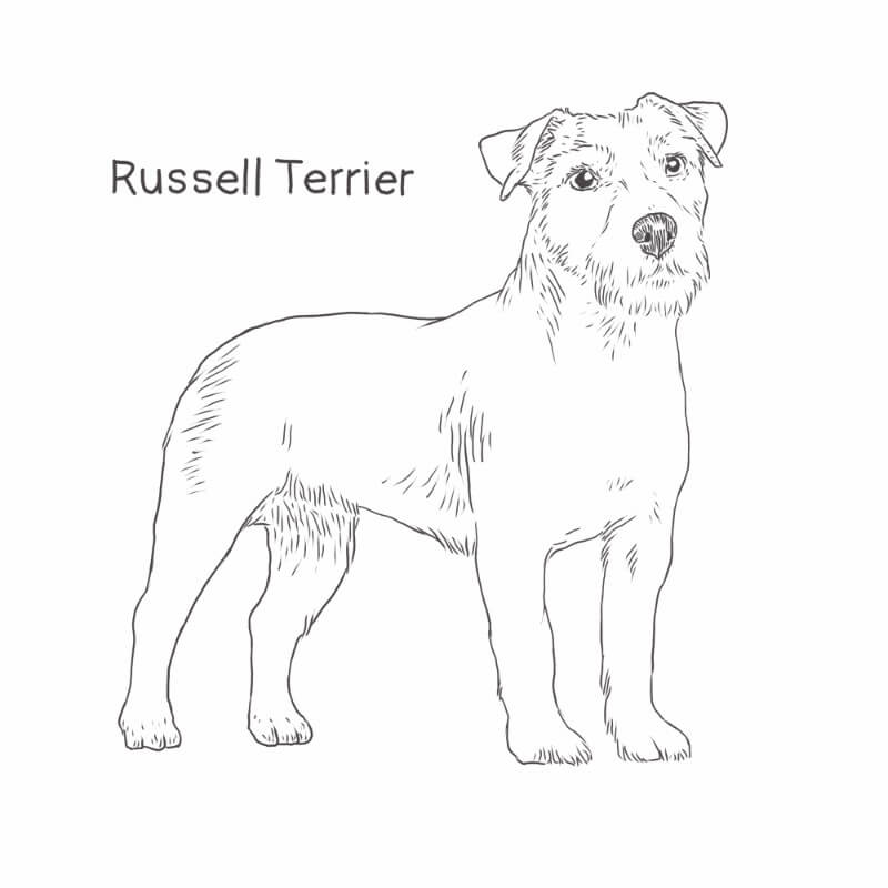 Russell Terrier drawing by Dog Breeds List