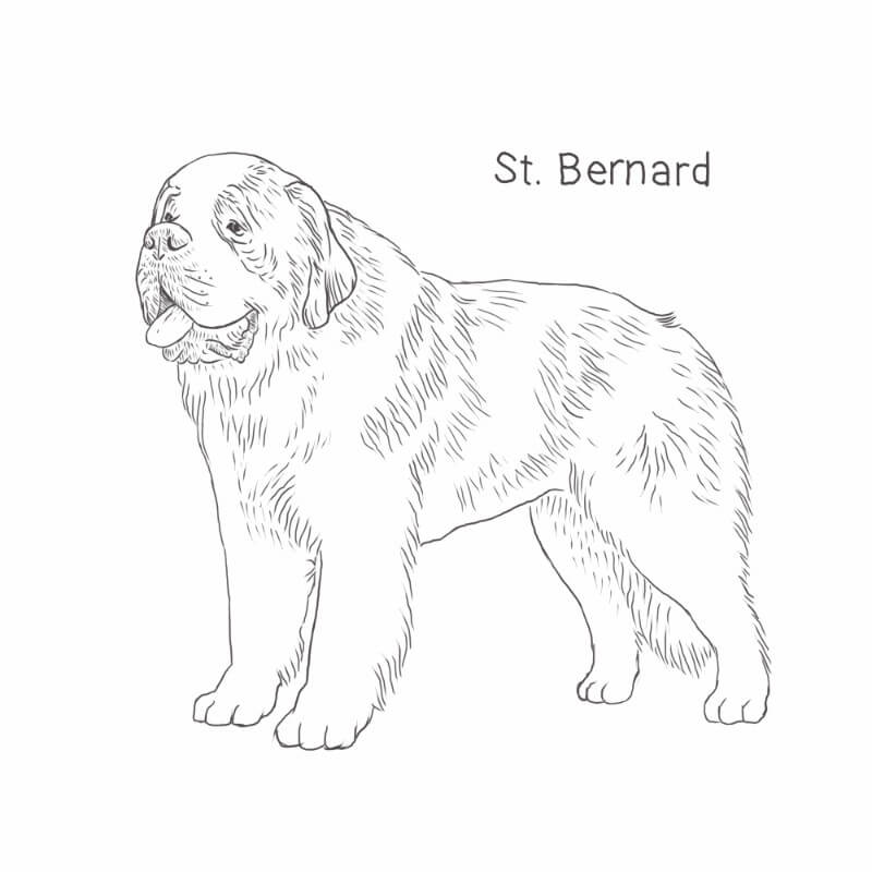 Saint Bernard drawing by Dog Breeds List
