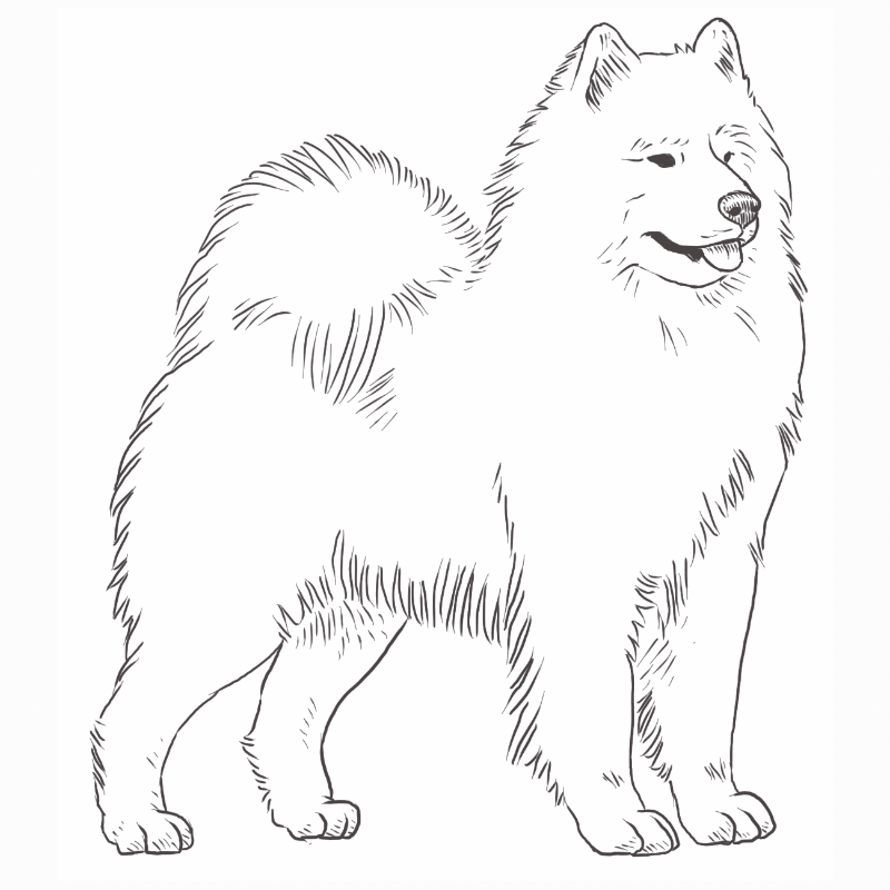 Samoyed drawing