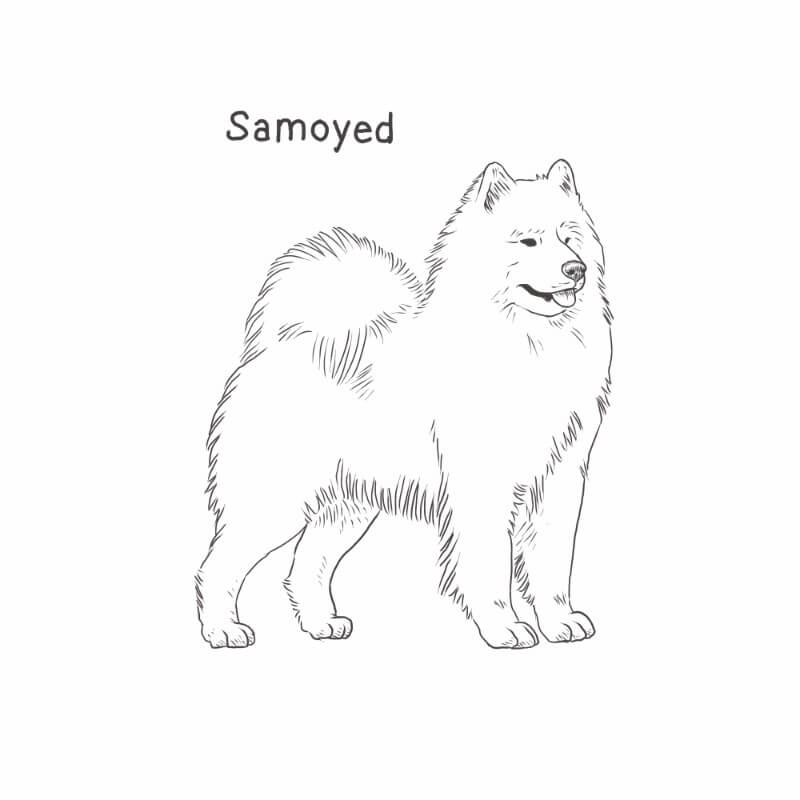 Samoyed drawing by Dog Breeds List