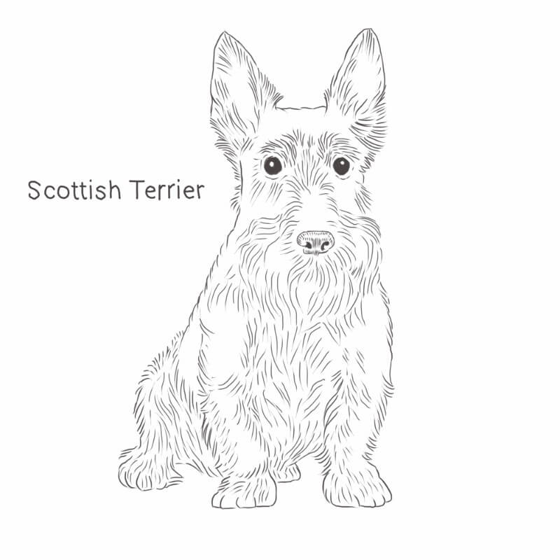 Scottish Terrier drawing by Dog Breeds List