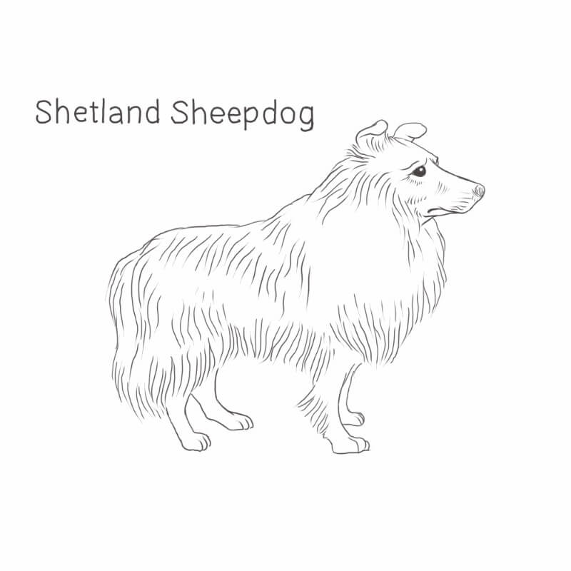 Shetland Sheepdog drawing by Dog Breeds List