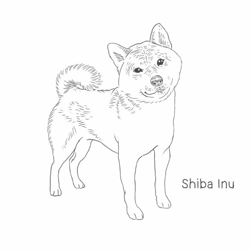 Shiba Inu drawing by Dog Breeds List