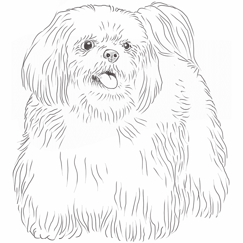 Shih Tzu drawing by Dog Breeds List