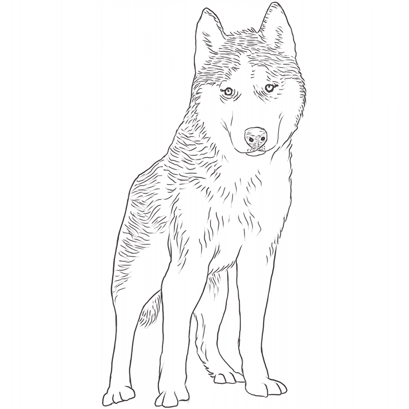 The Siberian Husky Everything You Need To Know