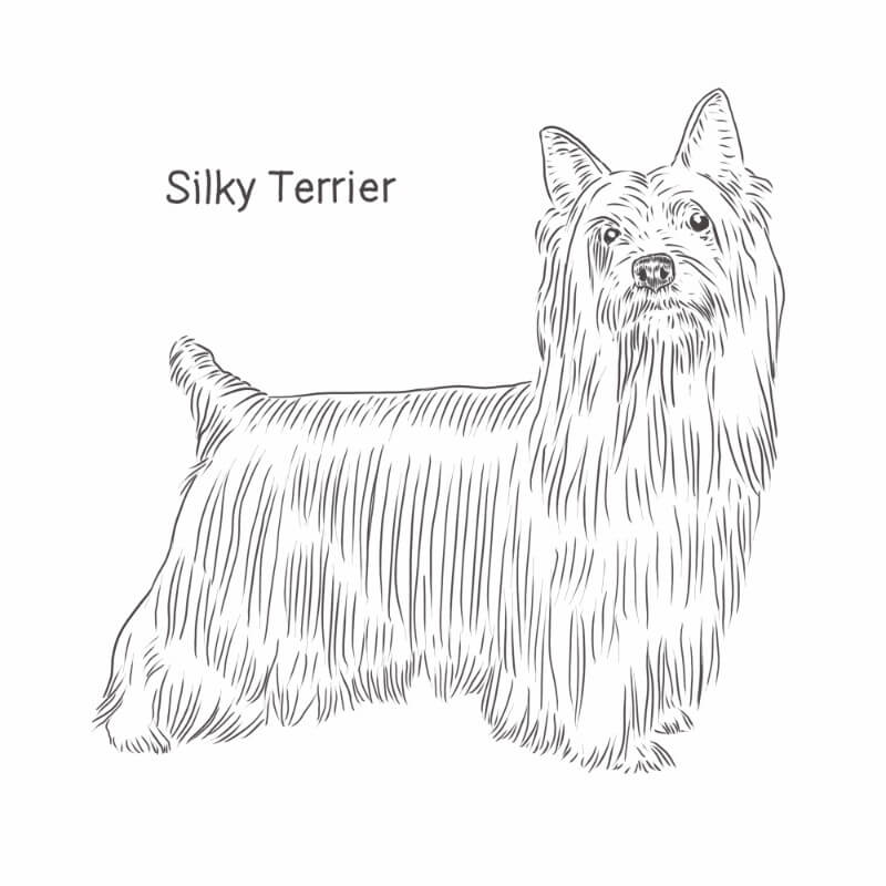 Silky Terrier drawing by Dog Breeds List