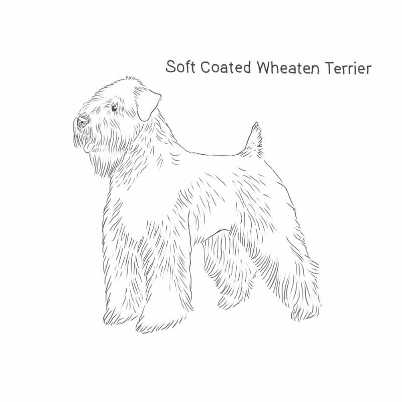 Soft Coated Wheaten Terrier drawing by Dog Breeds List