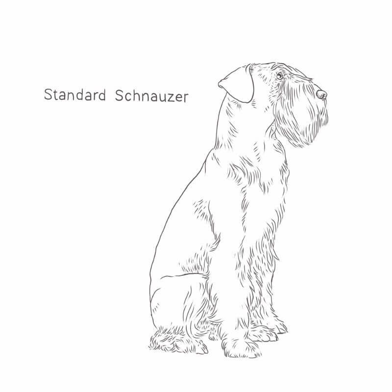 Standard Schnauzer drawing by Dog Breeds List