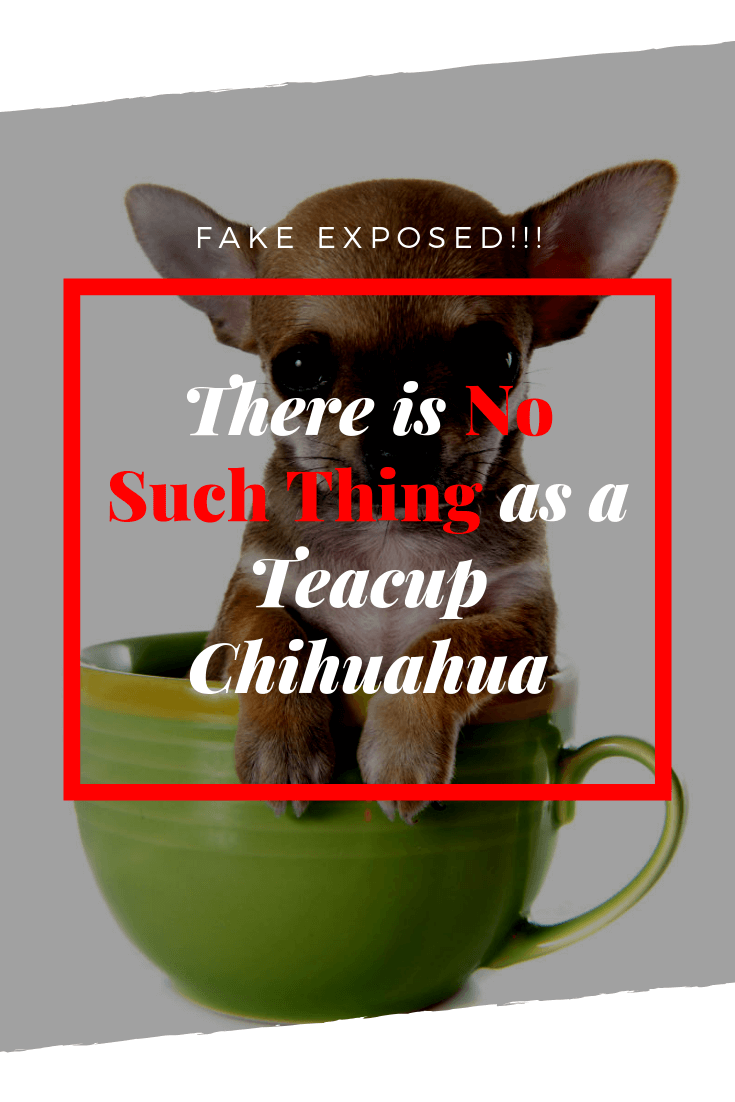 There is no such thing as a teacup Chihuahua