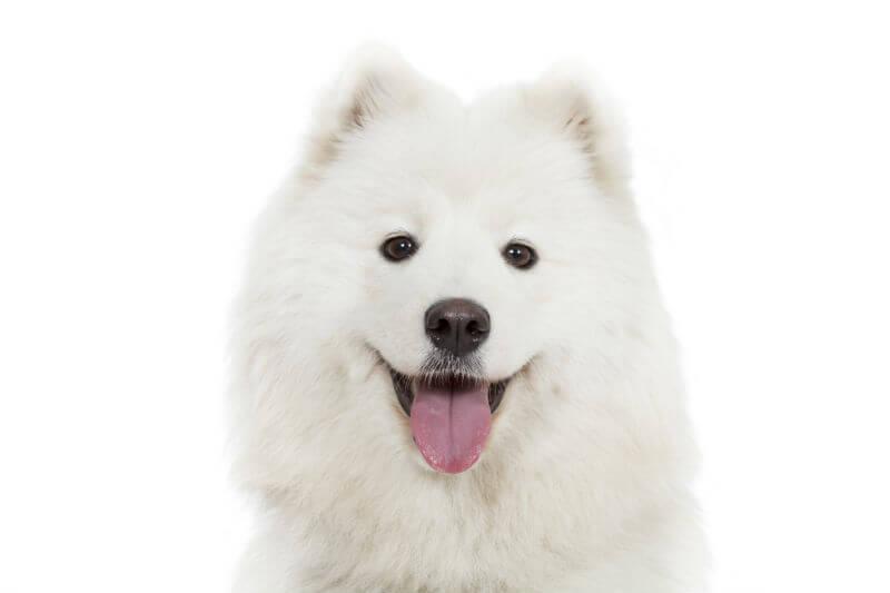 The Smiling Samoyed