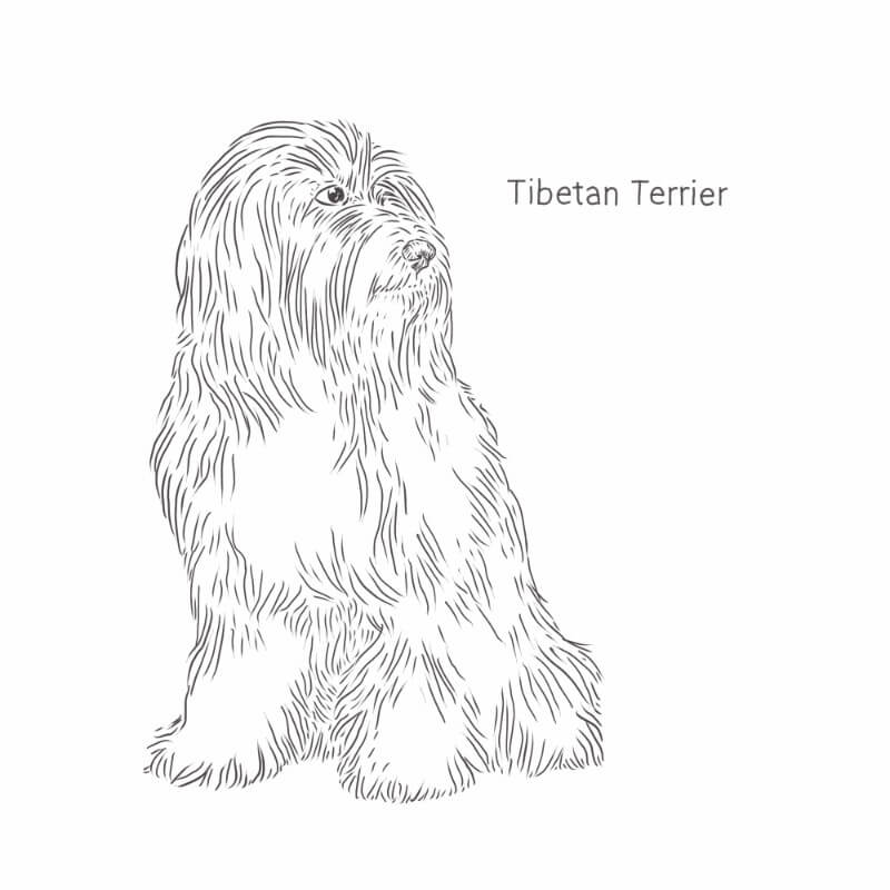 Tibetan Terrier drawing by Dog Breeds List