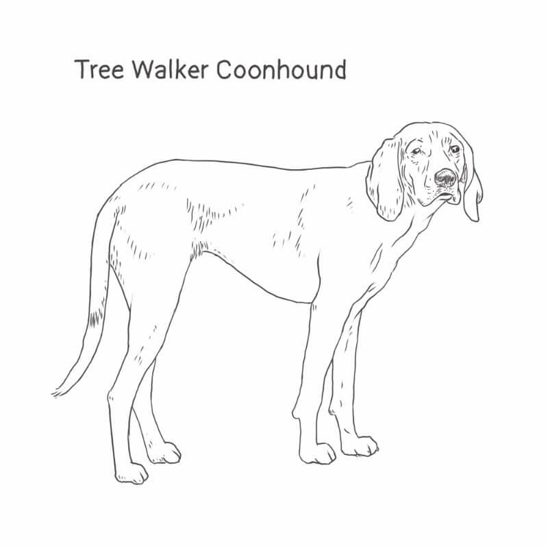 Treeing Walker Coonhound drawing by Dog Breeds List