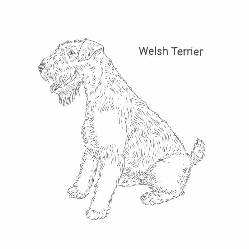 Welsh Terrier drawing by Dog Breeds List