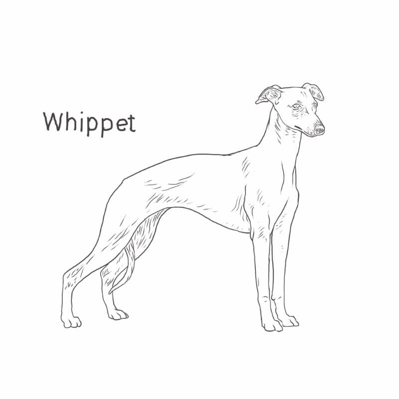 Whippet drawing by Dog Breeds List
