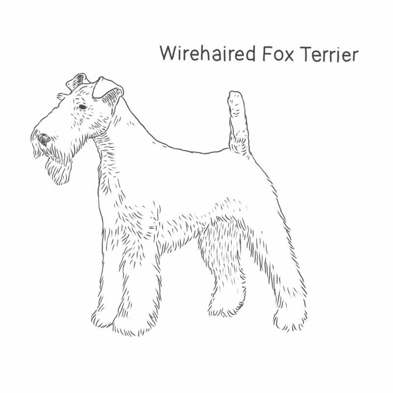Wirehaired Fox Terrier drawing by Dog Breeds List