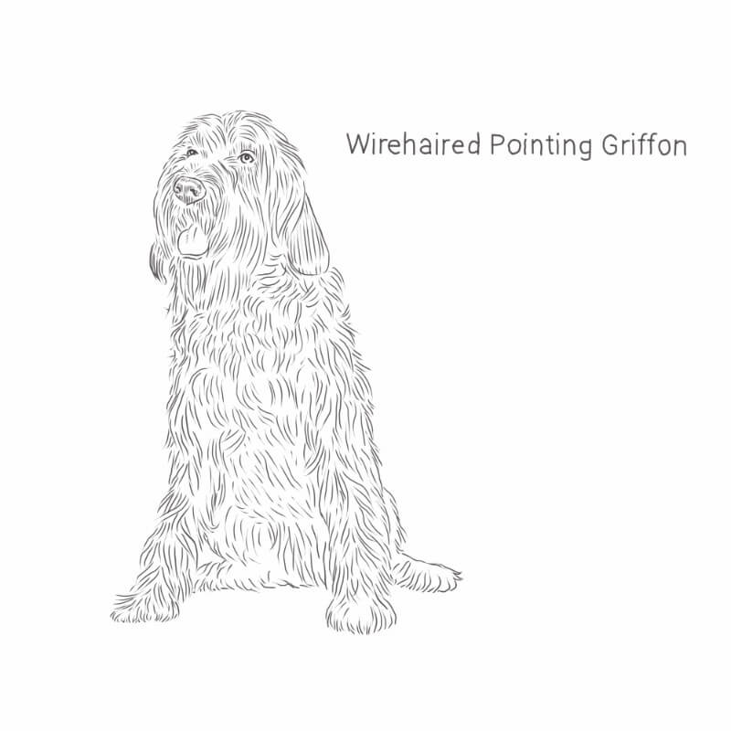 Wirehaired Pointing Griffon drawing by Dog Breeds List