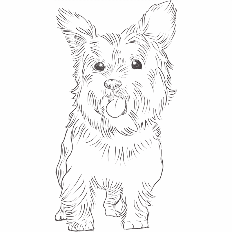 Yorkshire Terrier drawing by Dog Breeds List