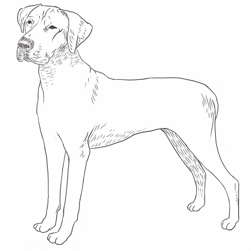 Rhodesian Ridgeback drawing by Dog Breeds List