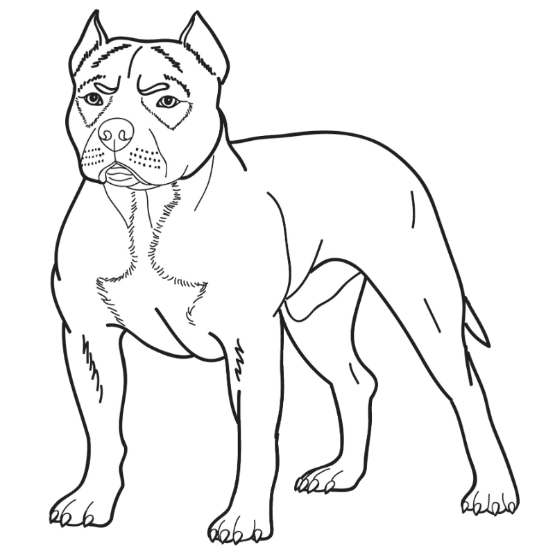 American Pitbull Terrier drawing