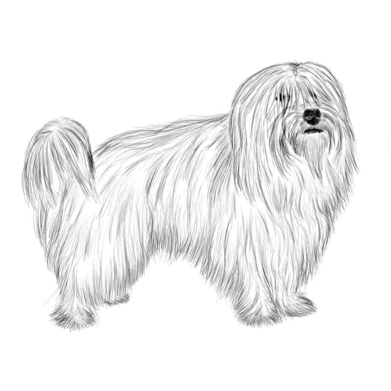 Coton de Tulear dog breed drawing