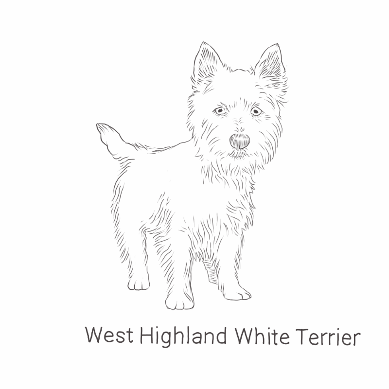 West Highland White Terrier drawing