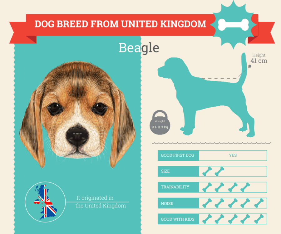 Beagle dog breed information infographic
