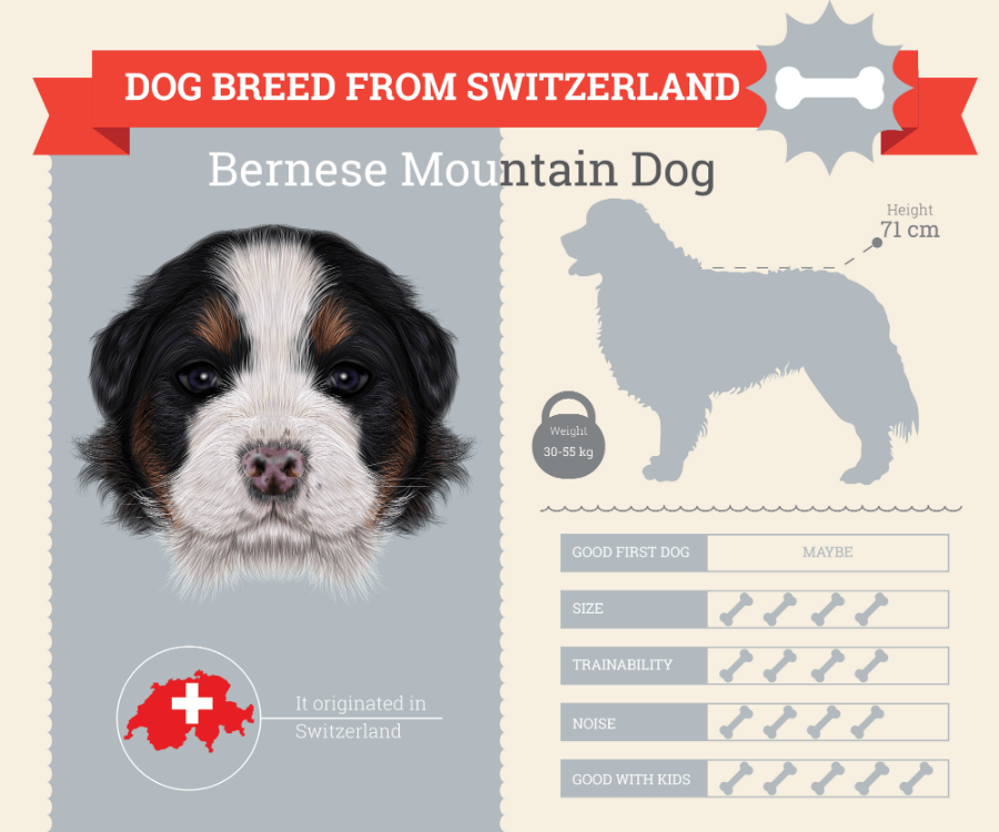 Bernese Mountain Dog breed information infographic