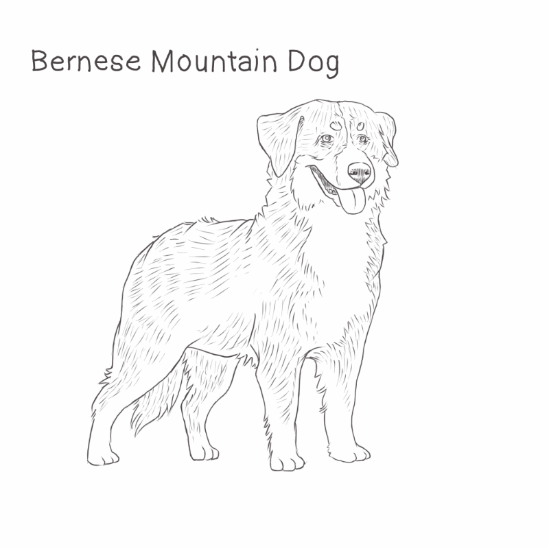 Bernese Mountain Dog drawing