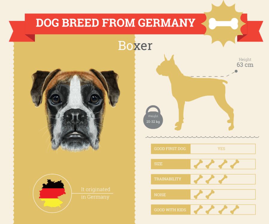 Boxer dog breed information infographic