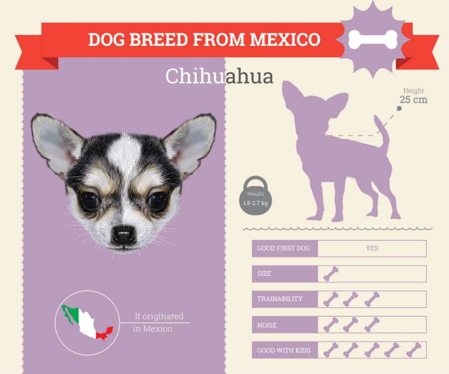 Chihuahua Dog Breed Information Infographic