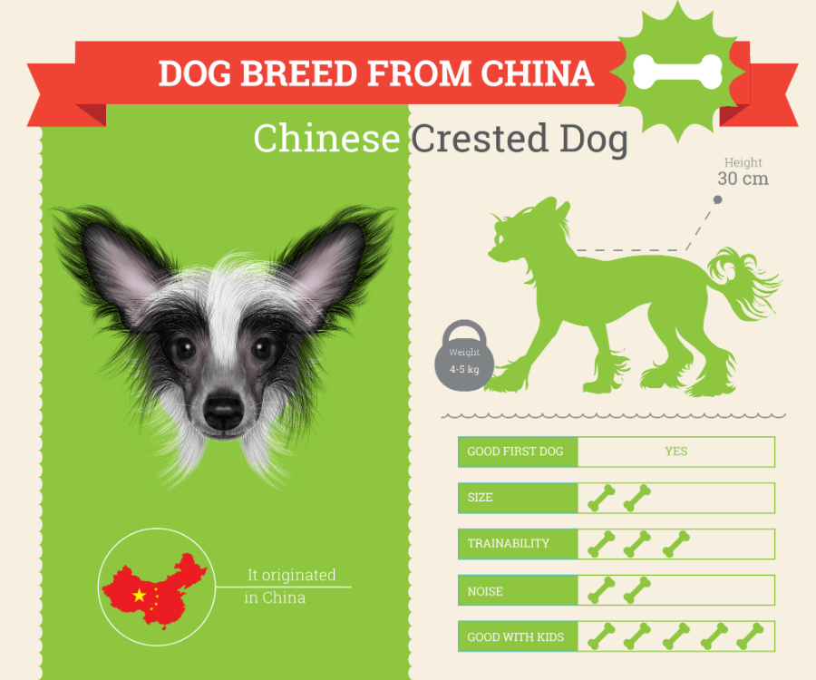 Chinese Crested dog breed information infographic